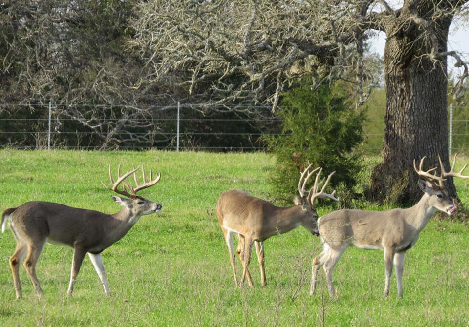 Salinas Ranch gray brahman gallery deer on pasture
