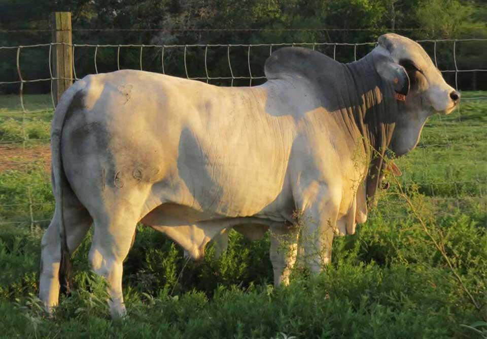 Salinas Ranch gray bull MR US KALLION BENCHMARK 1692