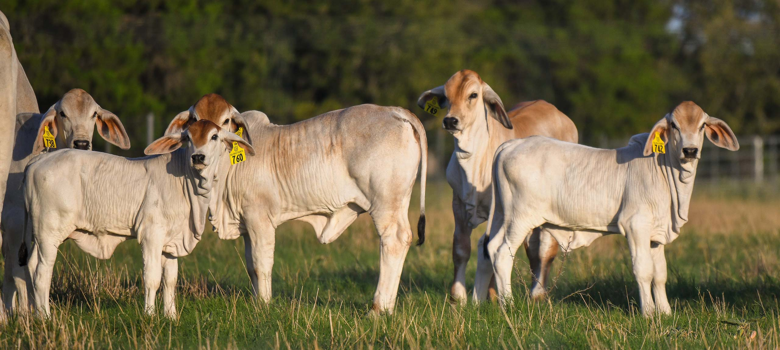 Salinas Ranch slide polled brahman calves